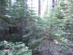Poor forest management affecting the Sierra Forest