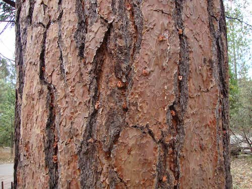 Close look at Bark Beetle pitch tube in tree