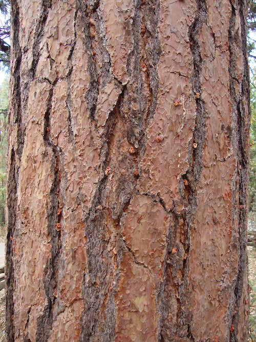 Closer look at Bark Beetle pitch tube in tree