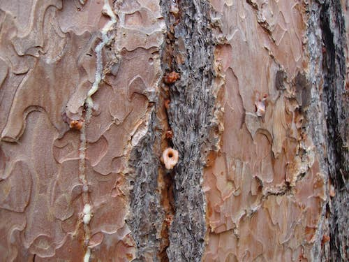 Closes look at Bark Beetle pitch tube in tree