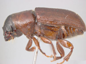 Close up of Bark Beetle